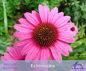 Echinacea_iCavallidelSole_