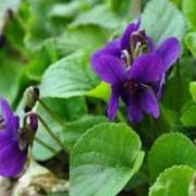 violetta selvatica